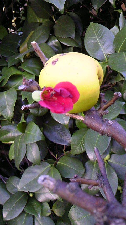 木瓜の花狂い咲き