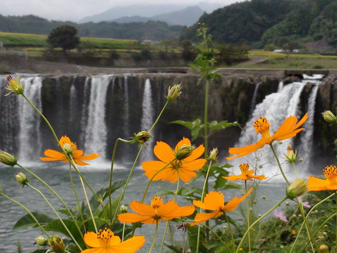 原尻の滝 コスモス2