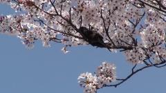 20110413 桜とホトトギス
